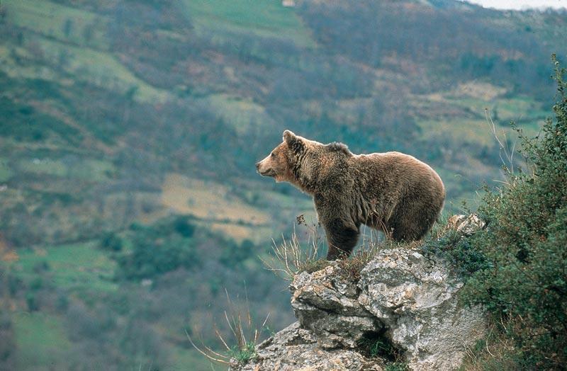 Asturias, el principal refugio del oso